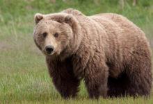 Photo of خرس قهوه ای جان پیرمرد میانه ای را گرفت