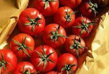 Photo of İranda istehsal edilmiş pomidorun 90 faizi fermerlərin əlində qalıb
