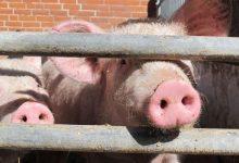 Photo of چالش تولید گوشت خوک در ایران توسط یک ارمنی