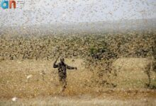 Photo of هجوم گسترده ملخها؛ هند به ایران آفتکش میفرستد