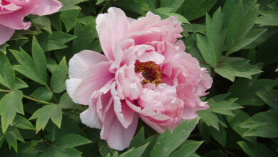 """Photo of The so-called """"five-finger flower""""(Ranunculus-paeonia), the bride of Garadagh flowers, is in danger"""