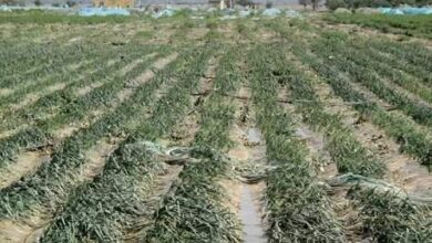 Photo of The agricultural sector of Meshginshahr lost 350 billion riyals