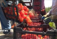 Photo of Mugan farmers cannot sell their tomatoes