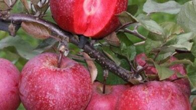 Photo of We have considered and emphasized the production of commercial cultivars of red apples with therapeutic properties