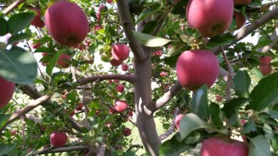 Photo of Apple picking has started in Urmu orchards